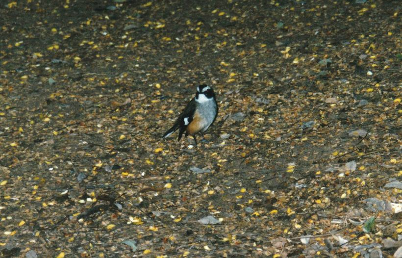Resize of 06-11-2003 01 white browed robin adels