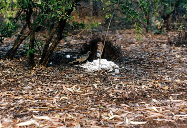 Resize of 06-30-2003 02 Great bower bird and his bower.jpg