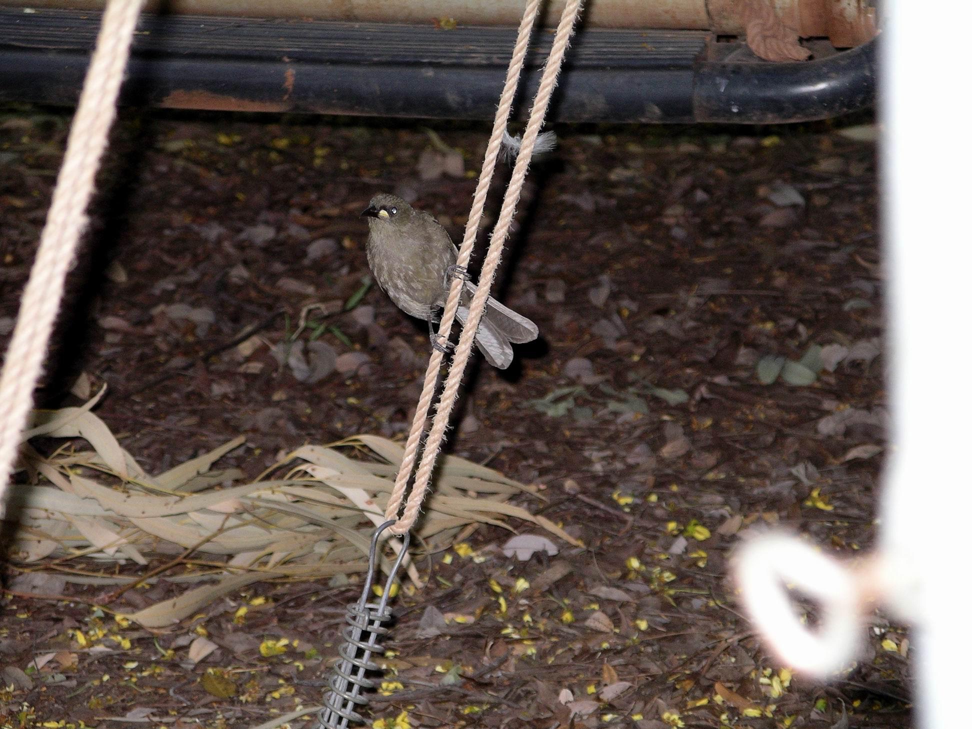 Resize of 4-6-2005 white gaped honeyeater Adels 2.jpg
