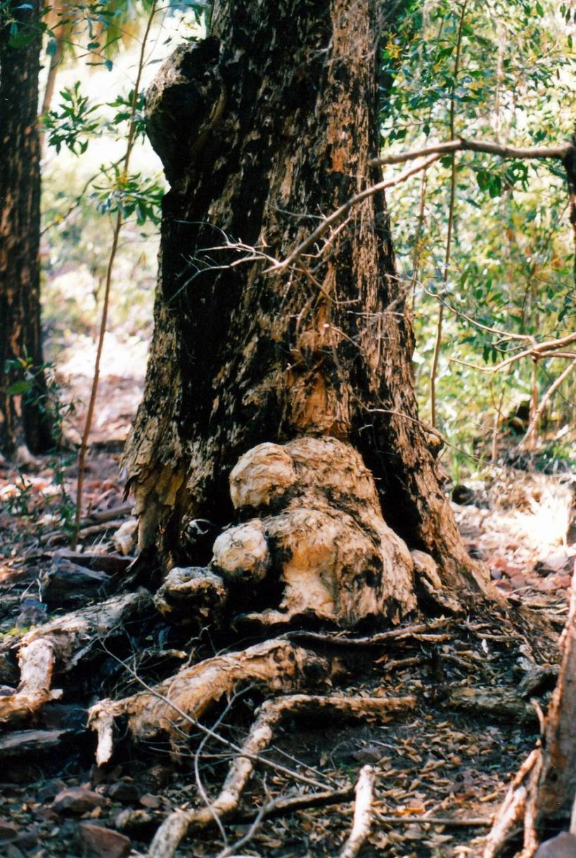 Resize of 06-20-2003 06 big old paperbark by Edith Ck.jpg