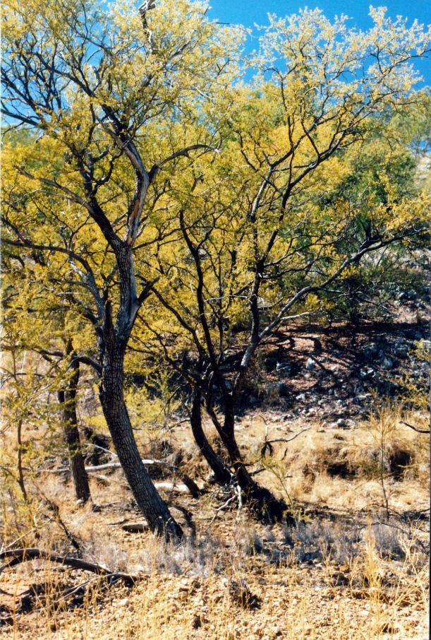 Resize of 08-03-2003 04  gutta parcha grove by mussellbrook track.jpg
