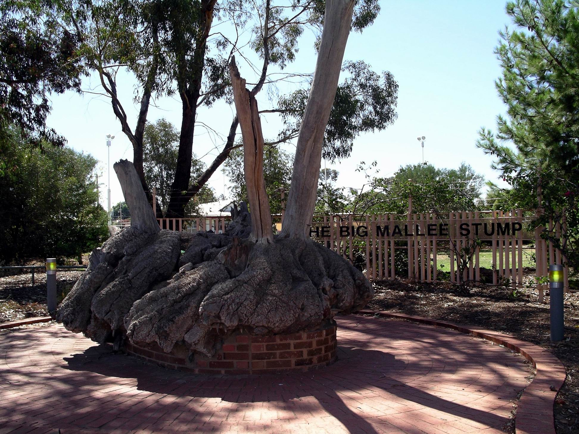 Resize of 03-27-2004 Big mallee root.jpg