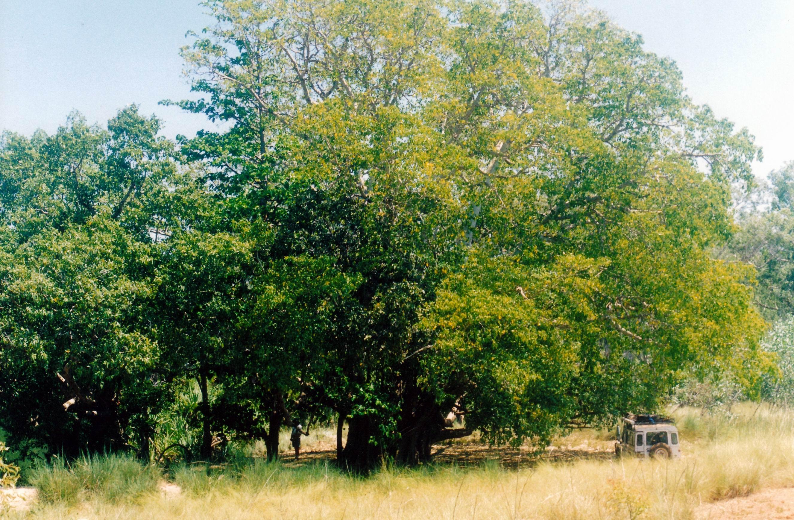 Resize of 09-19-2003 15 huge old cluster fig tree by Carns Creek.jpg