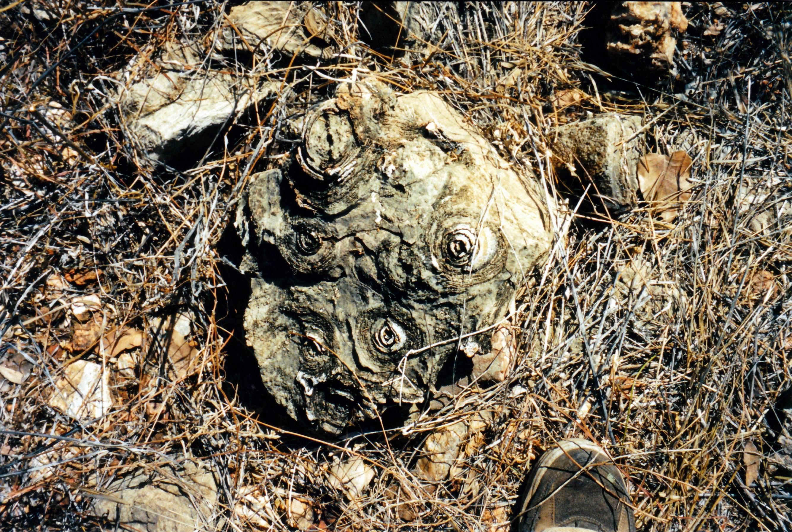 resize of 09-19-2003 22 pungalina stromatolites
