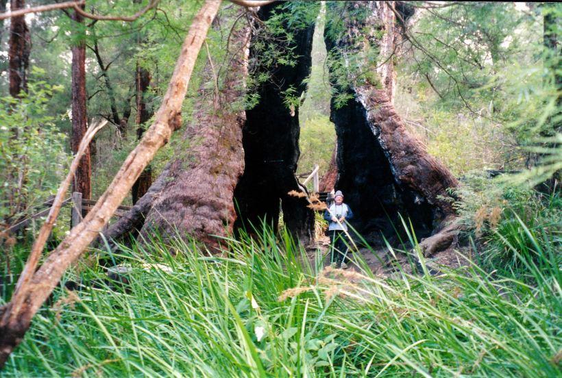 Resize of 05-22-2004 18 john in giant tree base.jpg