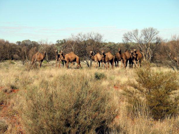 Resize of 09-02-2004 04 Gunbarrel Camels 2.JPG
