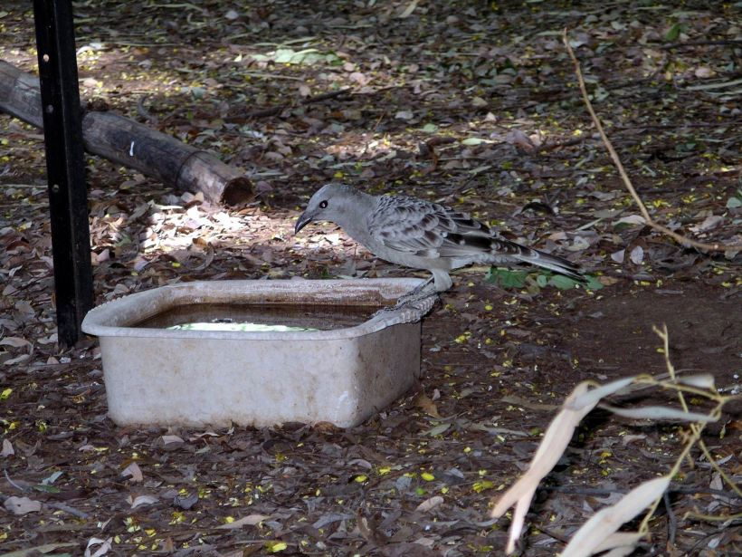 Resize of 4-6-2005 great bower bird Adels 2.jpg