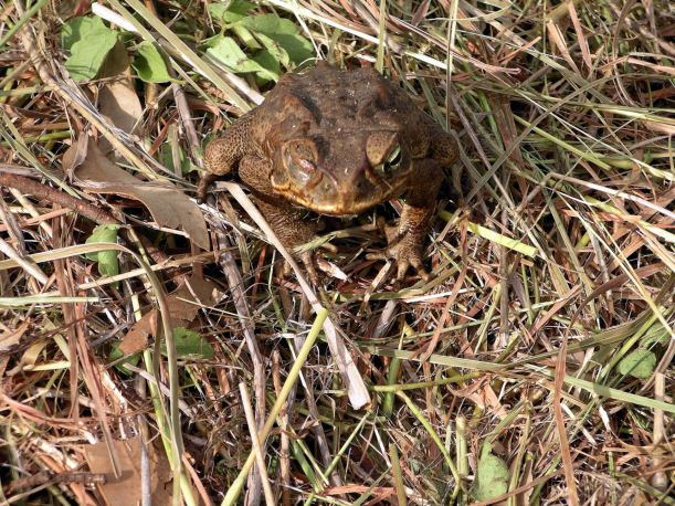 Resize of 04-12-2005 02 Cane Toad 2.JPG
