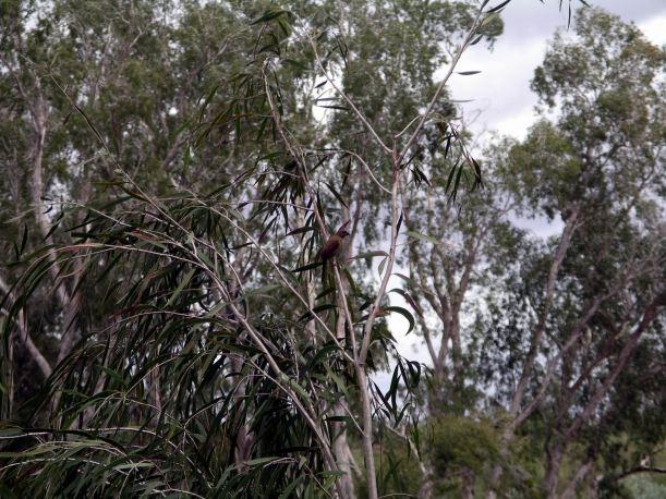 Resize of 04-12-2005 07 Crimson Finch 2.JPG