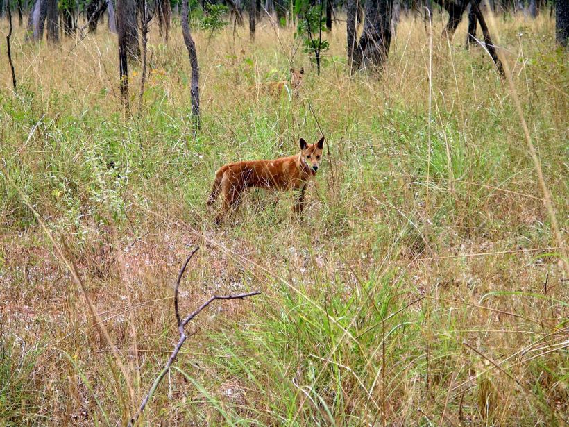 Resize of 04-24-2005 02 Wild Dingo and Mate.JPG