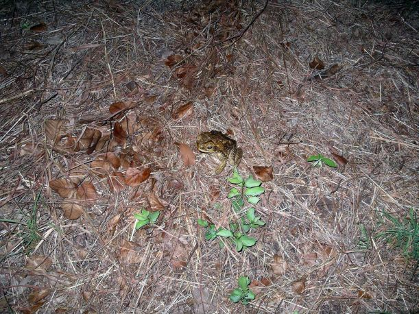 Resize of 05-03-2005 08 I'm a Cane Toad.JPG