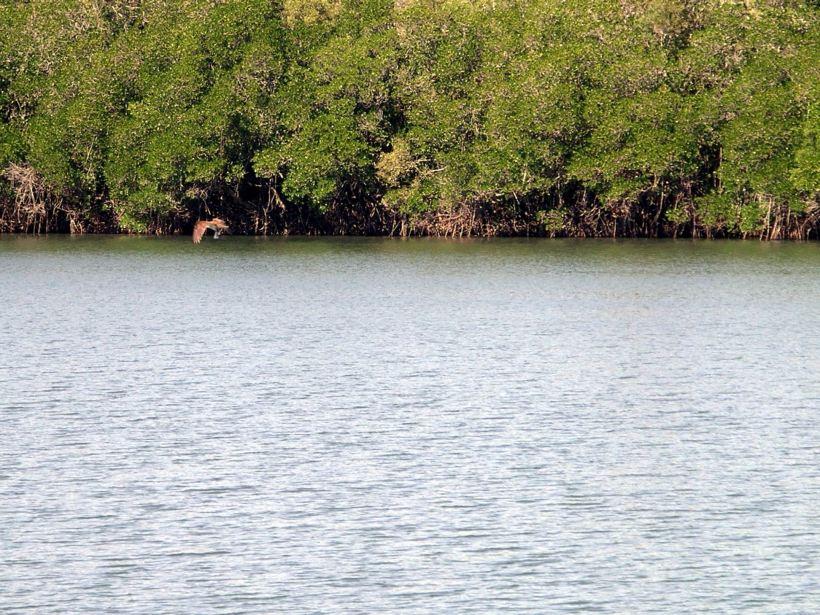 Resize of 05-15-2005 07 Brahminy Kite With Fish 2.JPG