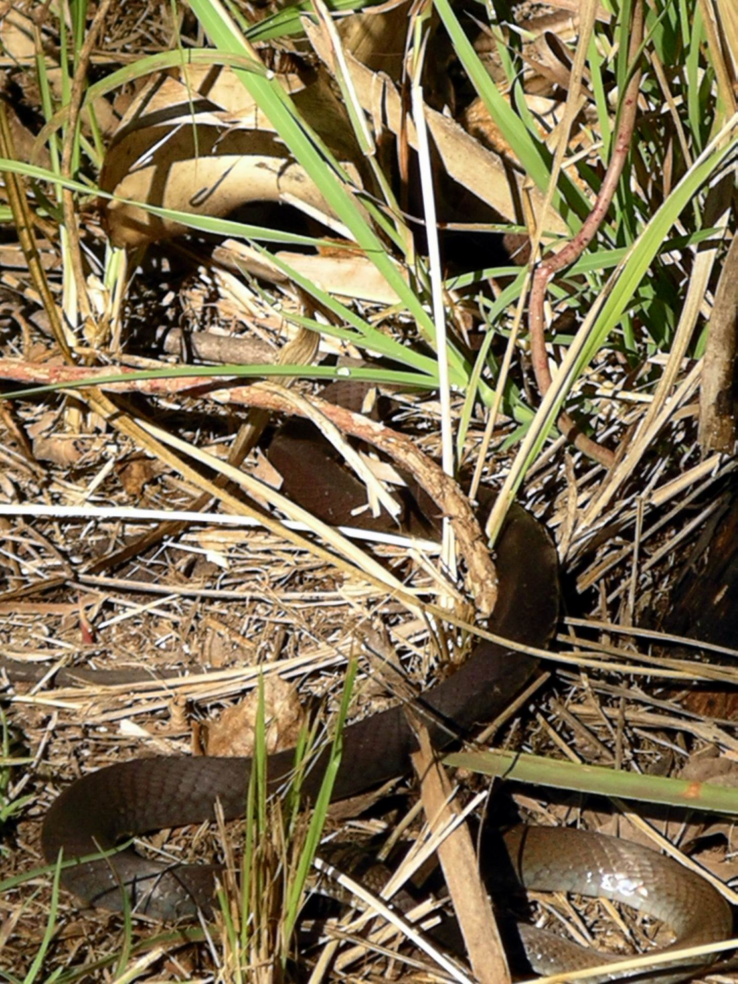 Resize of 05-30-2005 Whip Snake.JPG