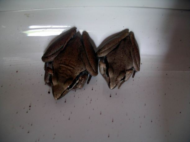 Resize of 06-20-2005 03 Two Rocket Frogs on Toilet.JPG