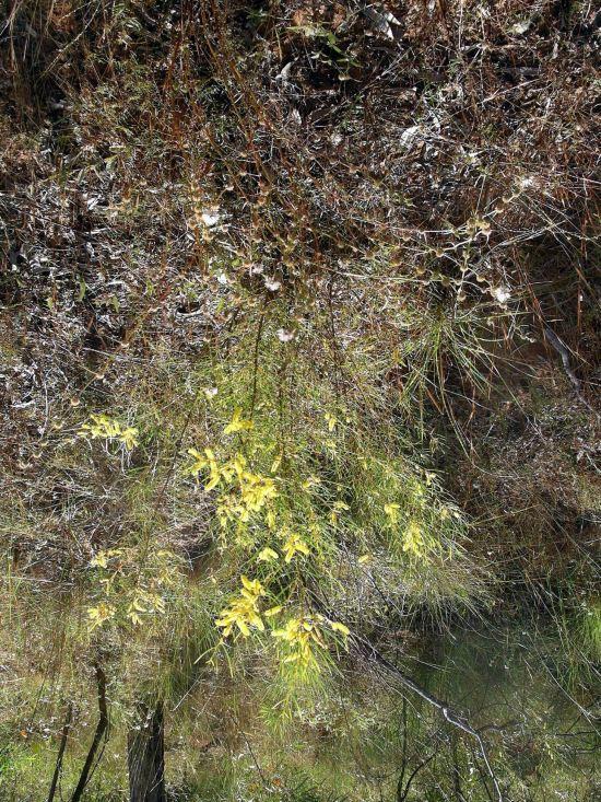 Resize of 06-04-2005 01 Acacia Torulosa