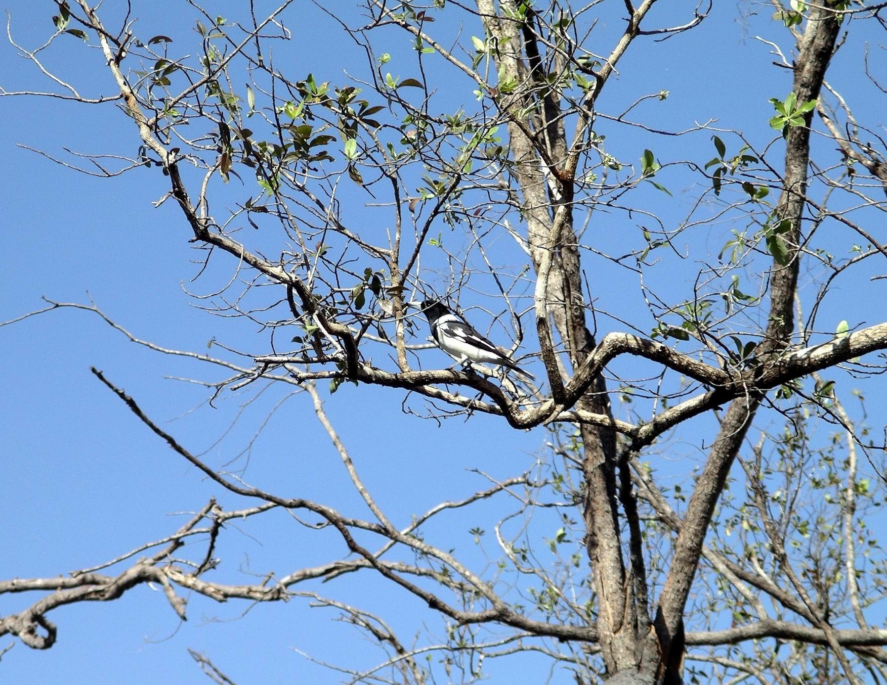 Resize of 06-04-2005 04 Pied Butcher Bird