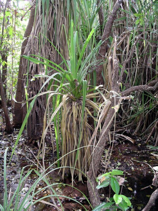 Resize of 06-18-2005 03 Pandanus.JPG