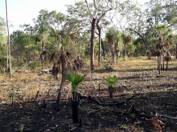 Resize of 05-30-2006 03 Pandanus regrowth Monsoon