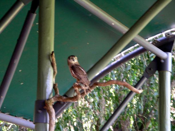 Resize of 05-31-2006 25 Barking owl TW Park
