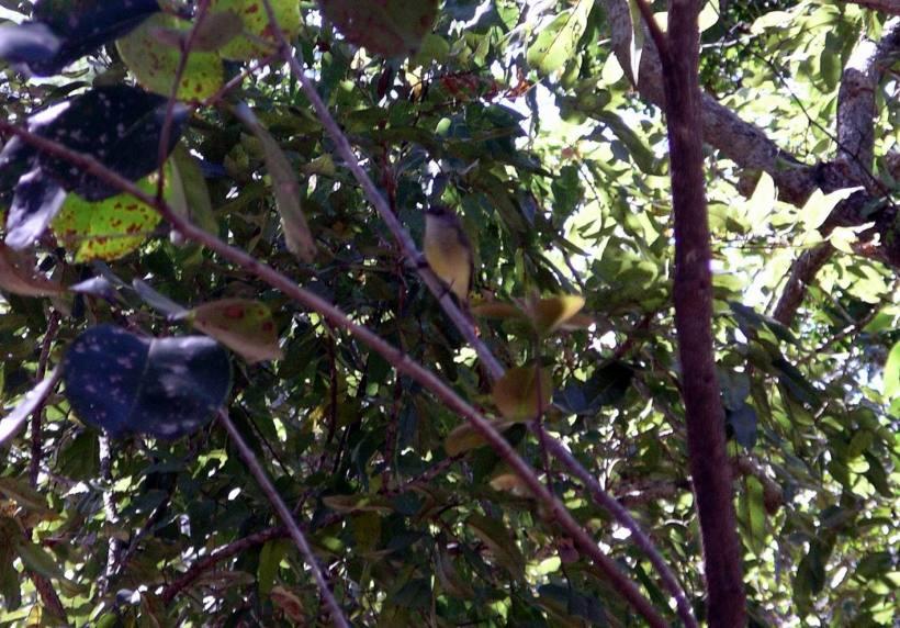 Resize of 06-21-2006 04 Lemon breasted flycatcher 3