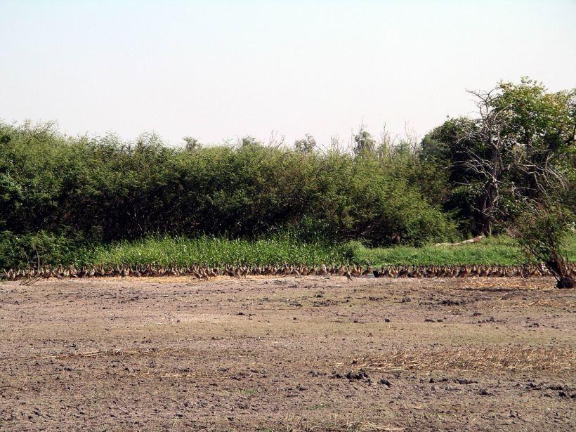 Resize of 07-18-2006 52 LaBelle Whistling Ducks