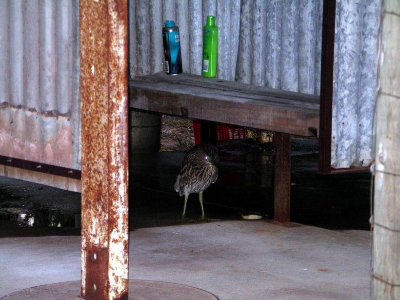 Resize of 07-26-2006 Nankeen Heron Monsoon shower