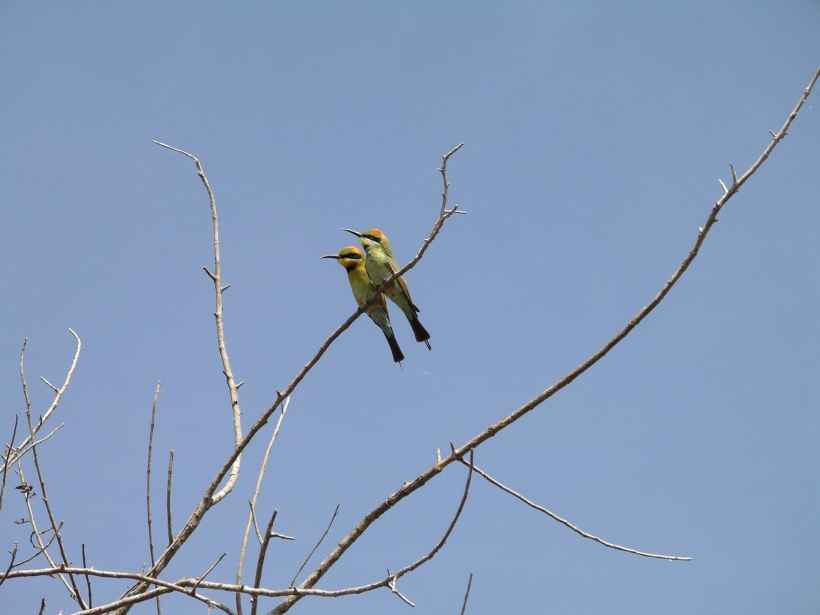 Resize of 08-14-2006 12 Rainbow bee eater2