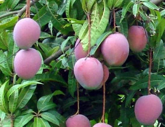 Resize of 08-26-2006 mangoes