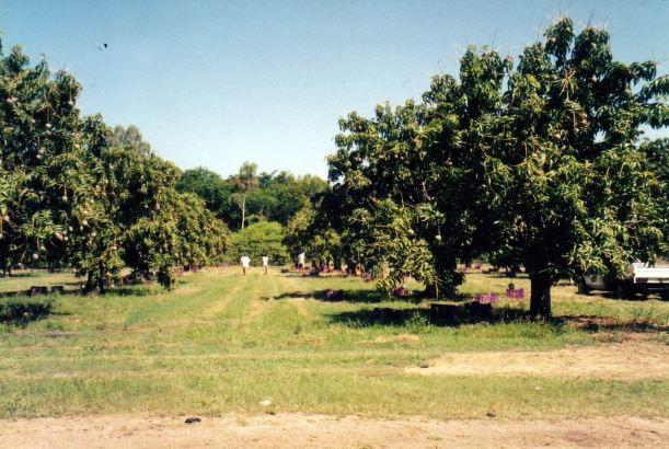 Resize of 11-11-2002 mango orchard